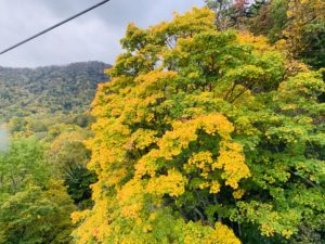 黄色い紅葉